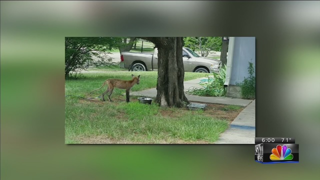 Fox sighting in local neighborhood