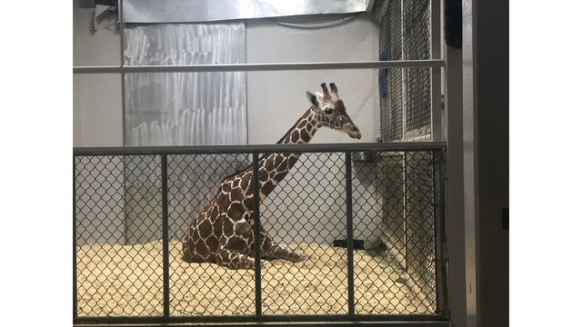 Hundreds tune in to watch Abi the giraffe give birth