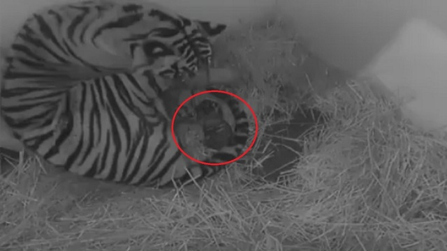 Topeka Zoo welcomes baby tiger cubs overnight