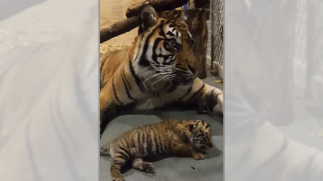 Topeka Zoo announces name for tiger cub, shares adorable video