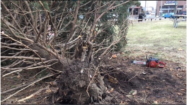 Winds knock over Mayor's Christmas Tree in Manhattan