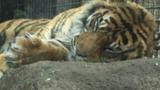 Zookeeper in critical condition one day after tiger attack at Topeka Zoo